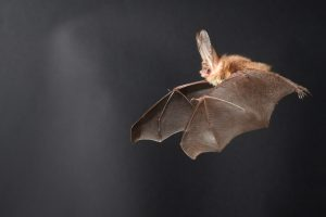 Long eared bat in wind tunnel flight